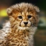 Аватар Детеныш гепарда на размытом фоне