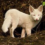 Аватар Белый лисенок стоит на земле