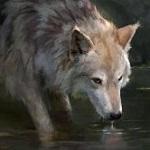 Аватар Волк у водоема
