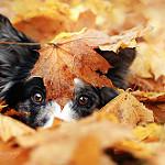 Аватар Пес под осенним листком