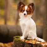Аватар Собака породы французкий папильйон сидит на бревне, фотограф Елена Рихтер
