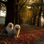 Аватар Две собаки сидят на дороге в осенней листве