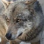 Аватар Морда серого волка, by Arkus83