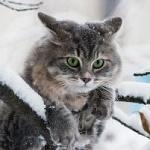 Аватар Cерый кот на заснеженной ветке, фотограф Irina Prikhodko