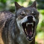 Аватар Злой волк с открытой пастью