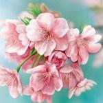 Аватар Розовые весенние цветы, by NImportant