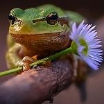 Аватар Лягушка с ромашкой