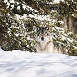 Аватар Волк на снегу
