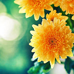 Аватар Желтые хризантемы на фоне боке, фотограф Essa Al Mazroee