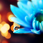 Аватар Гербера с каплей росы, фотограф Essa Al Mazroee