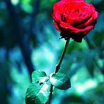 Аватар Красная роза, фотограф Essa Al Mazroee