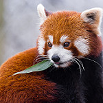 Аватар Красная панда кушает листик, by Mathias Appel
