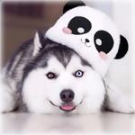 Аватар Хаски в шапочке с мордочкой панды лежит на полу