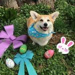 Аватар Вельш-корги сидит на траве и смотрит вверх, вокруг него лежат бантики, пасхальные яйца и маска кролика