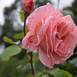 Аватар Розовая роза с бутоном