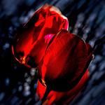 Аватар Красные тюльпаны на синем фоне