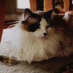 Аватар Кошка сидит под стулом