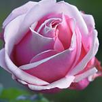 Аватар Розовая роза крупным планом
