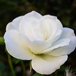 Аватар Белая роза на размытом фоне