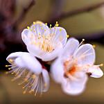 Аватар Весенние белые цветы