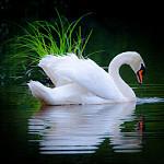 Аватар Белый лебедь на воде