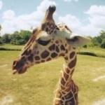 Аватар Голова жирафа на фоне природы