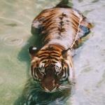 Аватар Тигр лежит в воде
