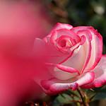 Аватар Белая с розовым роза, by naruo0720