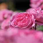 Аватар Розовая роза, by naruo0720