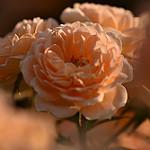 Аватар Оранжевые красивые розы