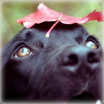 Аватар Черный лабрадор с осенним листом на голове