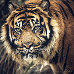 Аватар Морда тигра, фотограф Isabelle Trak