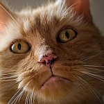 Аватар Морда кошки, фотограф Isabelle Trak