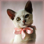 Аватар Серая кошка с розовым бантиком на шее