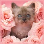 Аватар Котенок сидит среди розовых роз