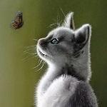 Аватар Белый котенок наблюдает за бабочкой