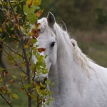 Аватар Белая лошадь у дерева. Фотограф Vladimir Pokrovskiy