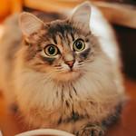 Аватар Пушистая милая кошка