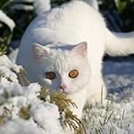 Аватар Белая кошка на фоне заснеженных веток