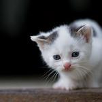 Аватар Милый голубоглазый котенок