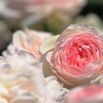 Аватар Розовые розы на размытом фоне