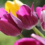 Аватар Бордовые и желтые тюльпаны