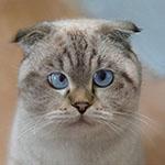 Аватар Серый кот с голубыми глазами