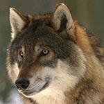 99px.ru аватар Волк в полу профиль