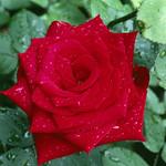 Аватар Красная роза в каплях росы