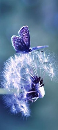 Обои одуванчик,бабочка