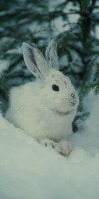 Обои Кролик зимой