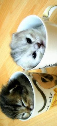 Обои два кота в чашке