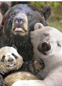 Обои Семья медведей, малыш панда появился от брака белого и бурого медведей