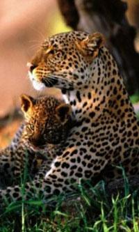 Обои Леопард с детёнышем